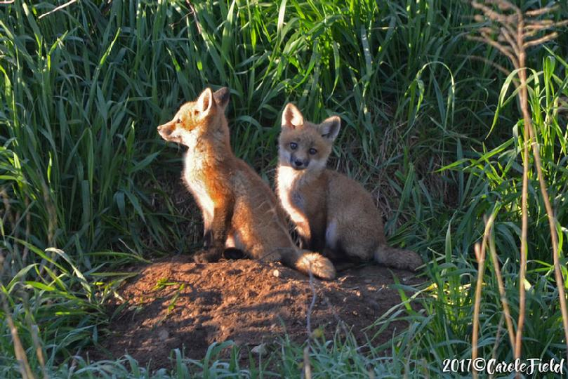 Red Fox Kits ©Carole Field