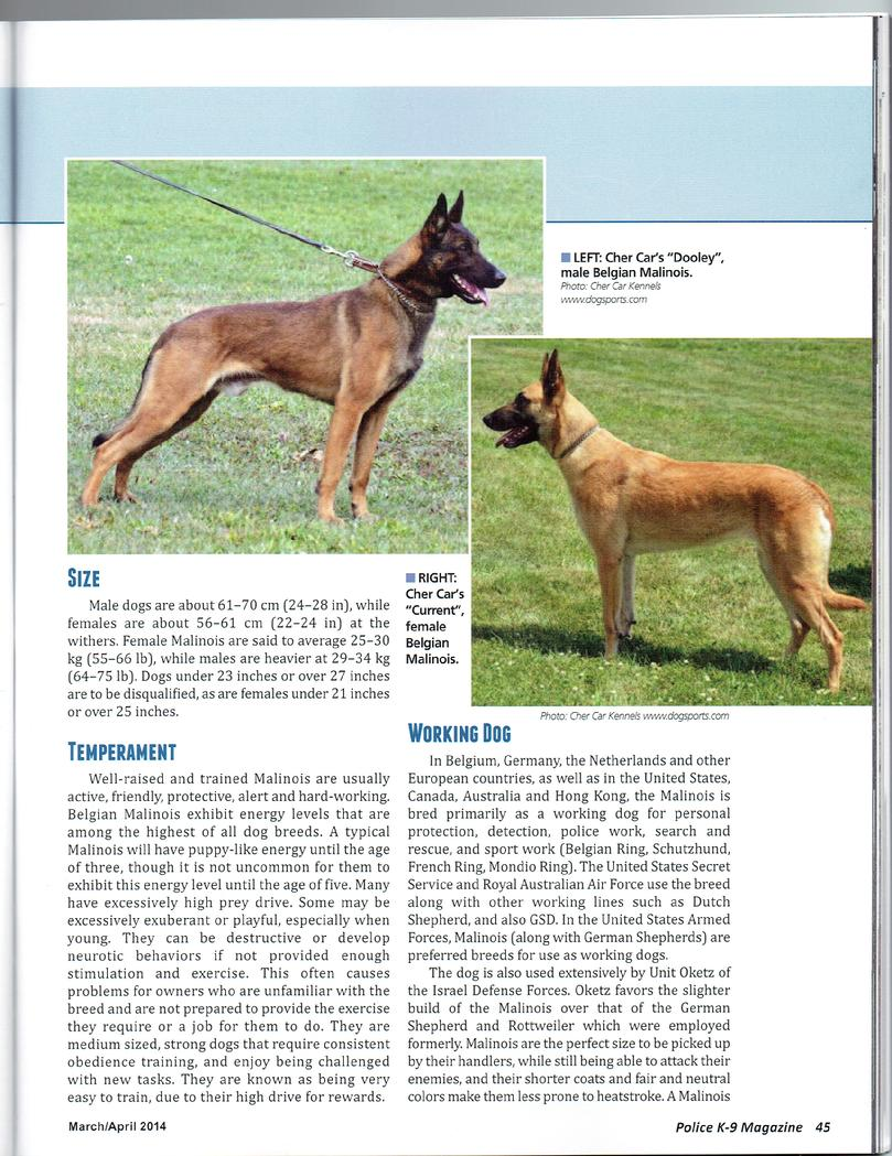 Belgian Malinois for sale at Cher Car Kennels