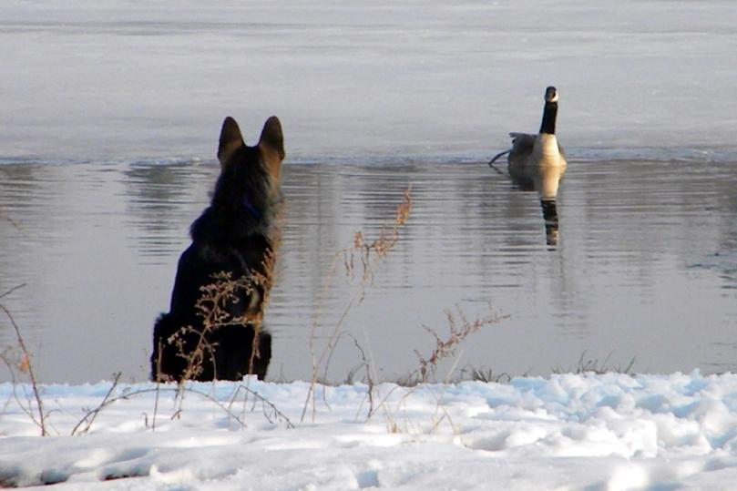 German Shepherd and goose
