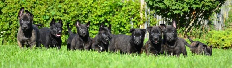 Dutch Shepherd puppies for sale at Cher Car Kennels in St. Johns, Michigan
